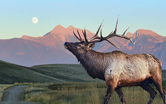 Going to the Moon (Deby Dixon) Tags: road moon fall nature grass photography evening montana wildlife bull adventure elk excitement deby allrightsreserved sunsetting 2011 missionmountains naturephotographer debydixon debydixonphotography