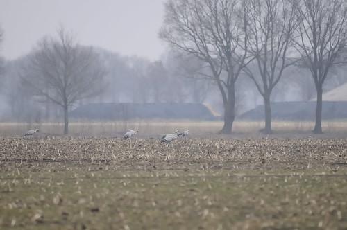 Kraanvogel Nederweert