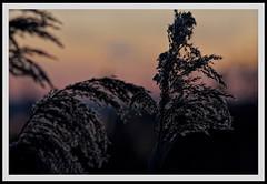 Ciuffi al tramonto.. (meoca63) Tags: italy rose alberi canon lago la italia raw tramonto nuvole torre foto rosa natura erba porto cielo tuscany da terre tramonti fiori toscana sole terra albero acqua inverno rosso riflessi bianco freddo nero raggi legno canne cannelle laghetto scuro chiaro massaciuccoli padule 40d infuocato