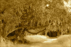 Live oak with old man's beard (MikeDalePhotos..... 500,000 + views ==> Thank you) Tags: park old lake tree mike nature sepia river michael oak dale florida antique live eerie spooky swamp sarasota oldcountryroad