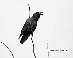 "American Crow By Jack Bird (""Jack Bird"") Tags: americancrow ias madisonindiana cliftyfallsstatepark jackbird feb232011"