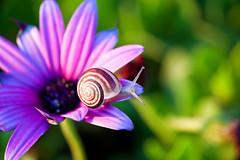 Almost spring... (Theophilos) Tags: light flower nature bokeh snail greece crete rethymno λουλούδι κρήτη ελλάδα φύση σαλιγκάρι ρέθυμνο φωσ