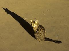 SOMBRA GATA (jorgeaq) Tags: shadow cat sombra gato felino konicaminoltaa200 kissablekatat