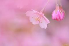 Sakura (miwa**) Tags: pink flower macro japan nikon 桜 cherryblossom sakura nikkor kanagawa miwa matsuda 2011 d90 105mmf28dmicro kawazuzakura 河津桜 nikond90