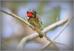 Coppersmith Barbet..I can't hear! (Ericbronson's Photography) Tags: park bird nature canon interesting singapore wildlife coppersmith barbet coppersmithbarbet ericbronson mygearandme mygearandmepremium