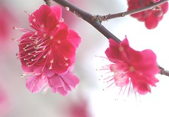 Joy of Spring (love_child_kyoto) Tags: flower macro nature march spring nikon bravo kyoto blossom plum  february   botanicalgarden     nishijin   blom pinkblossoms plumflowers   kitanotenmangushrine   supershot        sugawaramichizane   exquisiteflowers   itsallaboutflowers