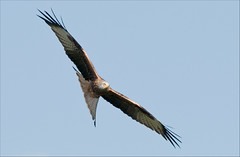 Red Kite (Gareth Scanlon) Tags: blue red sky orange white kite milan nature sunshine yellow ed rouge pull grey 1 march nikon carmarthenshire zoom wildlife boda beak feather sunny clear talon raptor tc pro push af nikkor rare primary f28 schedule pushpull dgs soar 80200mm milvus milvusmilvus kenko 14x teleconvertor barcud mb10 280mm rotmilan brynamman l358 sekonik d300s wennol