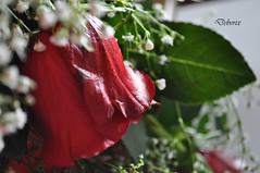 rosa primo piano (Debora Matteis) Tags: red rose rosa rosso mazzo fiorellini bunchofroses