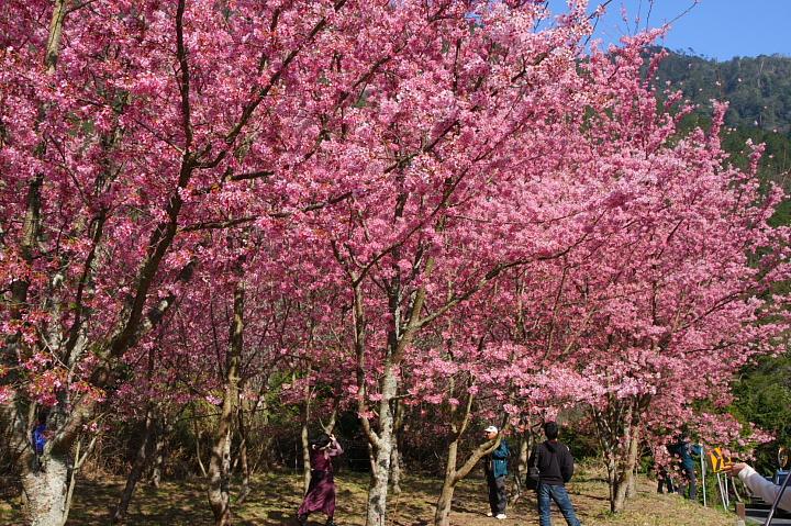武陵農場櫻花072
