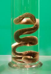 "Snake on ""aqua fortis"" (Channed) Tags: natuurhistorischmuseum museum natuur animals animal rotterdam thenetherlands nederland holland chantalnederstigt snake sterkwater strongwater aquafortis green channedimages"