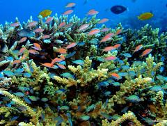 Pink and Blue (_takau99) Tags: ocean trip travel sea vacation holiday fish uw water topv111 pen indonesia underwater diving olympus september tropical scubadiving komodo 2010 takau99 penlite epl1