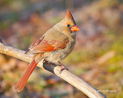 Look (augphoto) Tags: usa bird sc animal cardinal wildlife piedmont avian songbird cardinaliscardinalis northerncardinal