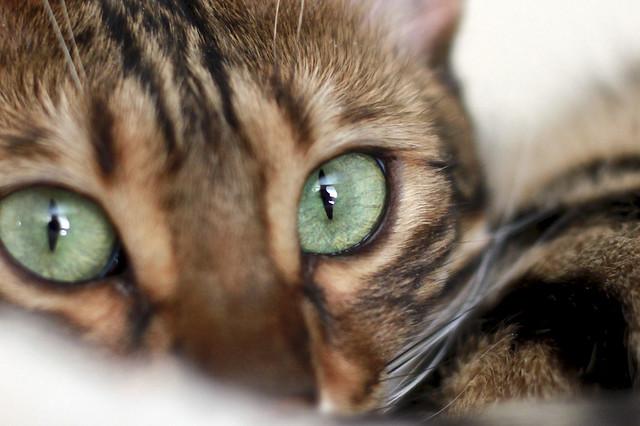 Bengal cat eye colour