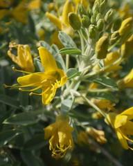Bladder Pod 01 (Tom Hilton) Tags: color wildflowers isomerisarborea isomeris capparaceae windwolvespreserve