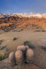 Cactus at Dawn (Jeff Sullivan (www.JeffSullivanPhotography.com)) Tags: cactus dawn sunrise alabama hills lone pine eastern sierra sierranevada california usa landscape nature canon 5dmk2 road trip photo copyright 2011 march mount mountwhitney easternsierra inyocounty sequoianationalpark blmproud seeblm photomatixpro photographingcalifornia guidebook book chapter southerncalifornia travel explore visit