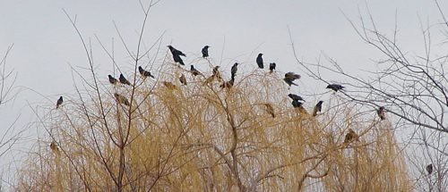 crows03-13-11perryfarm2crop