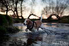 IMG_9320 (Jordan Butters) Tags: sunset orange dog cute beagle river branch dusk twig stick doggy fetch peterborough nene