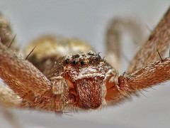 Small spider (zoran1304) Tags: hairy white macro eye up closeup canon spider scary eyes looking close background small powershot animalplanet 250 s5 dcr raynox arachnofobia dcr350