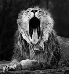 Roar (markrellison) Tags: blackandwhite monochrome animal tongue cat canon zoo feline teeth lion 7d roar chesterzoo asiaticlion