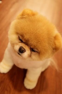boo_Pomeranian_Dog_34