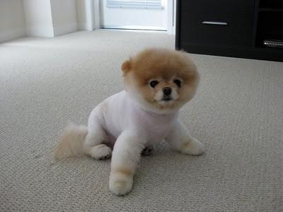 boo_Pomeranian_Dog_43