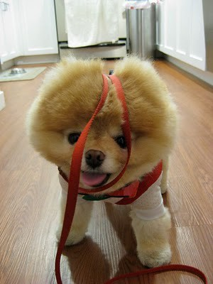 boo_Pomeranian_Dog_27