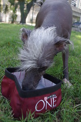 IMGP9956 (GoProGirlMiami) Tags: dogs weird different hairless peruvian uglydog drinkingwater peluda hairlessdog purinaone phodography