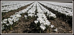 White crocuses..... (Frans Schmit) Tags: spring crocus krokus lisse bollenvelden wonderfulworldofflowers fransschmit