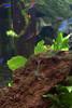 amano shrimp & neon tetras (jessfir) Tags: freshwater amanoshrimp neontetra aquarism