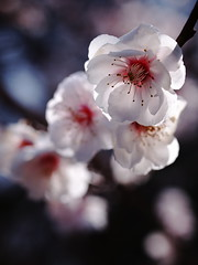 Plum blossoms (yubomojao) Tags: japan kyoto plum     fllower