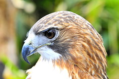 Hawk- (33Tazz) Tags: up tom close hawk schoon specanimal