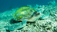 Green Turtle-5886.jpg (lgiboin) Tags: giliair indonesia travel underwater