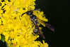 potter wasp on goldenrod KW 090216-1 (TER-OR) Tags: aurora illinois unitedstates potterwasp stiffgoldenrod fermilabnaturalareas