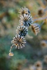fiori d'inverno (mat56.) Tags: flowers winter macro ice bokeh campagna fiori antonio inverno lombardia ghiaccio lodi pianura lodigiano padana mat56 romei oriolitta