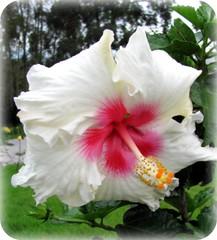 Flores pra Voc ... (Joana Joaninha) Tags: santabarbara branco amor flor paz viagem beleza leveza quintaflower joanajoaninha hellennilce