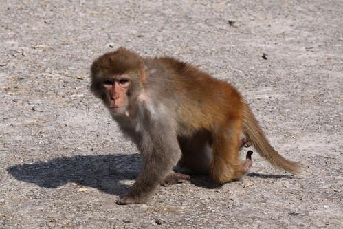 This monkey has crippled legs