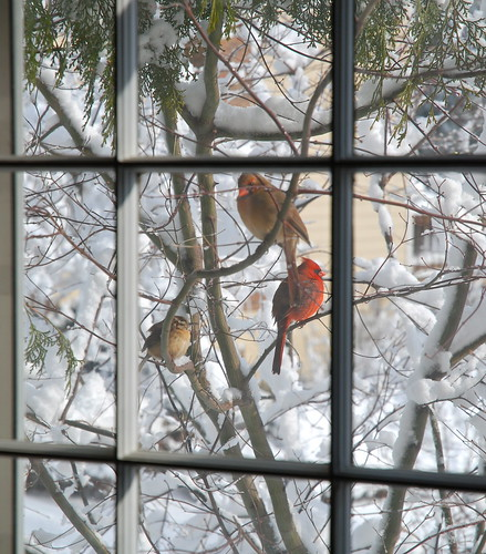 Male & Female Northern Cardinals, Carolina Wren, After Heavy Snow Storm, Reston, VA