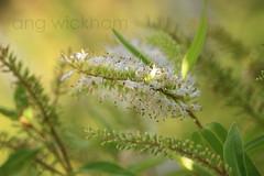 Koromiko. Hebe sp. * (nznatives) Tags: summer flower macro leaf bokeh nz hillclimb hebe tbi nznative northlandnz koromiko whangaroa stpaulsrock