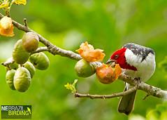 Red-cowled Cardinal - Paroaria dominicana