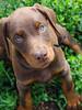 Doberman Puppy (9 weeks) (Jennifer-Leigh) Tags: digital puppy pentax doberman pentaxkm