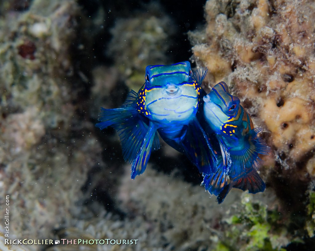 A pair of mandarinfish swim cheek-to-cheek in their evening mating dance