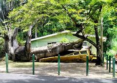 Huricane Damage in Dominica (saxonfenken) Tags: tree broken hurricane damage posts damaged storybook dominica 7004 15challengeswinner pregamewinner 7004trans