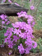think warm thoughts! (azhiker_grrl) Tags: wood arizona mountains southwest flower warm power purple majesty verbena goodings huachuca