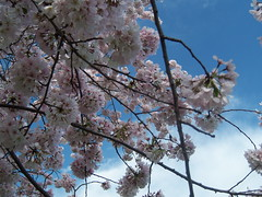 Looking Up (ahappyjaffee) Tags: sky dc section3 cherryblossoms ds106 ds445