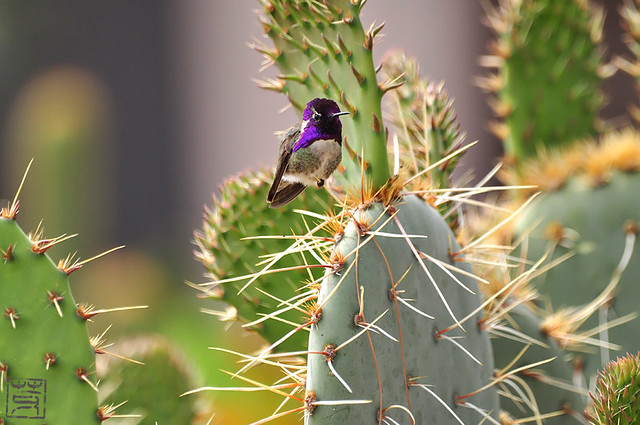 Costa's Hummingbird(コスタハチドリ) @ my parents-in-law's house in AZ, Apr. 2010