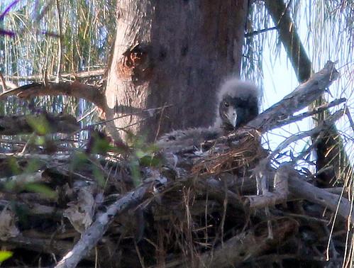 Older of 2 eaglets 20110203