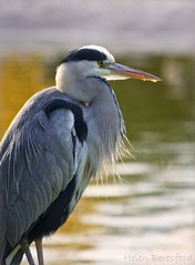 Grey Heron (Helen Beresford) Tags: uk bird heron nature wildlife ngc feathers greyheron wadingbird blackpoolzoo specanimal
