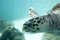 タイマイ, 沖縄美ら海水族館