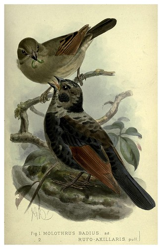 023-Tordo griton-Argentine ornithology…1888- William Henry Hudson y Philip Lutley Sclater