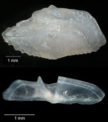 Pinfish Otolith (FWC Research) Tags: fish florida research otolith